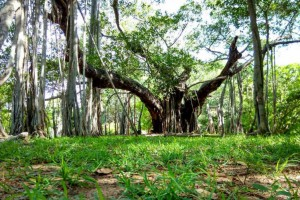 The famous banyan tree at Chennai's Theosophical Society
