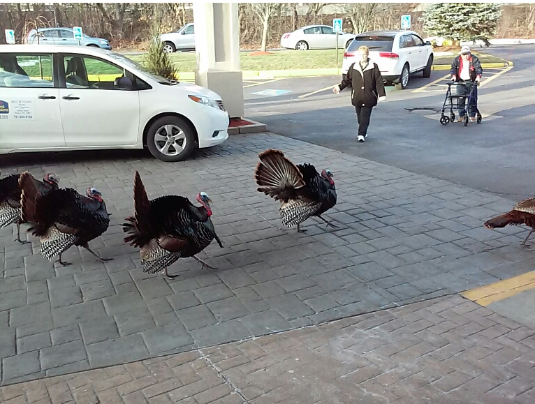 Turkeys in Massachusetts